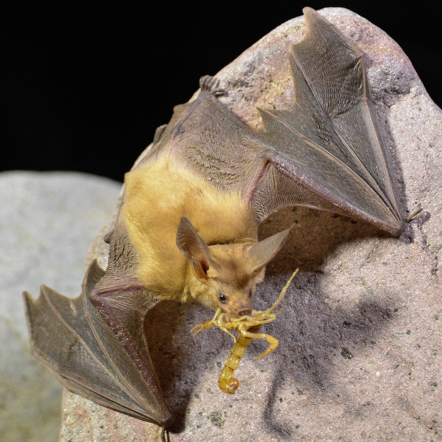 Ecology of Desert Bats